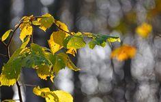 keltaisia lehtiä Fruit, Plants, Plant, Planets