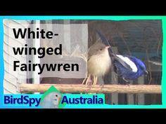 White-winged Fairywren | BirdSpyAus - YouTube