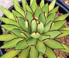 "Agave ""Royal Spine"""