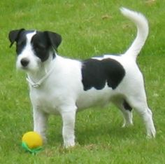 gray jack russell terrier - Google Search
