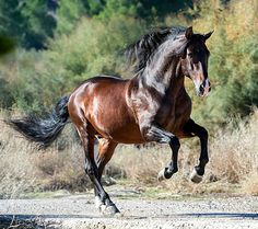 I don't know what this says, but this is a really pretty horse! (mkc)--Pura Raza Española stallion, Vento 10. photo: Alexia Khruscheva via Betsy Elkins.
