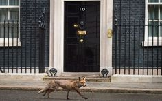 A fox runs past the front door of 10 Downing Street Picture: AFP