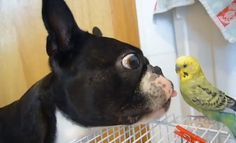 See What Happened When this Boston Terrier Saw the Bird! - Watch ► http://www.bterrier.com/?p=16968 - https://www.facebook.com/bterrierdogs