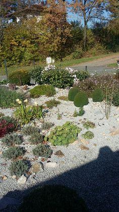 Vorgarten als weitläufiger Steingarten.  Im Hintergrund stehen miteinander kombiniert Immergrüner Schneeball (Viburnum Eskimo) und Grönlandmargerite (Chrysanthemum arcticum Roseum).