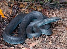 Black racer! - Saw a guy just like this in back yard today, he was beautiful
