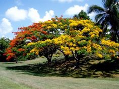 Flamboyant trees or Royal Poinciana