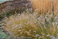 'Hameln' fountain grass as edger, with Rudbeckia seedheads and feather reed grass