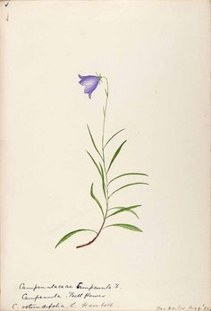 206500 Campanula rotundifolia L. / Sharp, Helen, Water-color sketches of American plants, especially New England, (1888-1910) [Helen Sharp]
