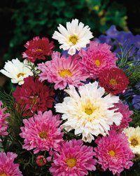 Double Click Cosmos, DS, 4'T Fragrant cut flower 1pkg 100 seeds/$2.95