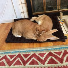 Ginger Cat and His Giant Rabbit Twin Brother. Truly Special Bond!