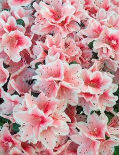 Azalea Background Source: iStockPhoto Permissions: Licensed