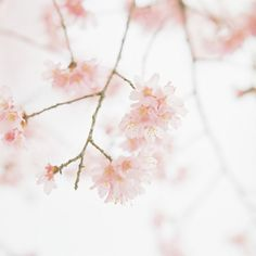 ~ gorgeous blossoms  everlytrue:    [by kajico]