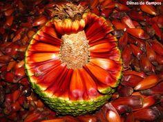 Pinhão, semente de Araucária    (via saiadeseda)