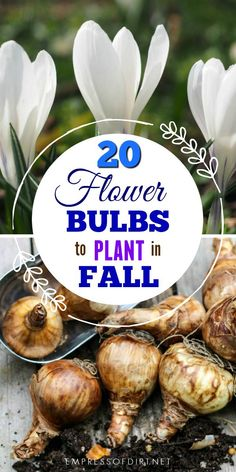 20 bulbs to plant in fall for flowers in spring, summer, and autumn.