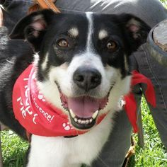 Darby is an adoptable Border Collie searching for a forever family near Garfield Heights, OH. Use Petfinder to find adoptable pets in your area.