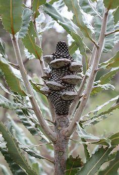Banksia menzies infructescence
