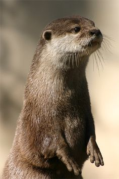 It's so cute ! Forest Animals, Nature Animals, Animals And Pets, River Otter, Sea Otter, Wild Animals Photography, Otters Cute, Otter Love, Cute Kawaii Animals