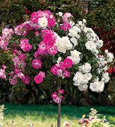 Blended Iceburg tree rose!