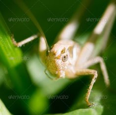 grasshopper in nature. macro ...  Caelifera, Orthoptera, animal, antennae, background, black, bug, canada, close, closeup, creature, cute, dark, detail, entomology, environment, flora, fresh, garden, grass, grasshopper, green, image, insect, leaf, leg, life, living, locust, long, macro, meadow, nature, park, plant, side, small, spring, summer, tail, tentacles, texture, tree, view, wheat, wild, wildlife, wings