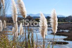 'Toitoi' or 'Toetoe' Grass, Mapua Estuary, NZ Royalty Free Stock Photo South Island, Fall Photos, Image Now, Grass, Coastal, Royalty Free Stock Photos, Old Things, Magic, Photography