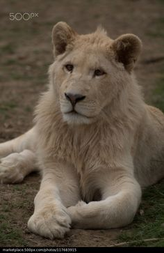 Young Male Lion - JackieT