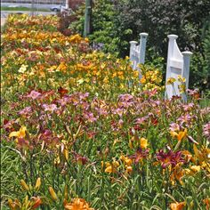 Daylilies - These are more than the standard yellow. They are faithful, hardy and don't disappoint. Great fillers too on the repeat bloomers.