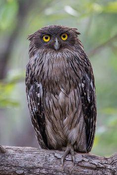 Vogel foto: Ketupa zeylonensis / Bruine Visuil / Brown Fish Owl