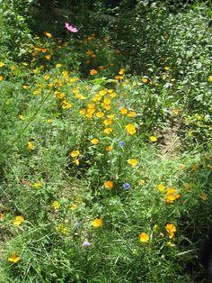 Wild flower garden, Estes Park, Colorado.