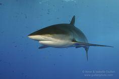 silky-shark-red-sea-2.jpg (1280×857)
