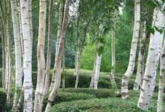 Garden With Boxwood And Birch Trees : Enchanting Beauty Birch Trees In Your Garden