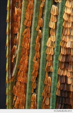 Charaxes candiope, wing scales