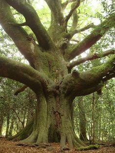 """arbre forestier, un vieux hêtre, appelé localement""""le hêtre du voyageur"""".près de Paimpont"""