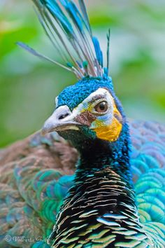 .Green Peafowl @ Zoo Miami (Wings of Asia) by Valberta Guthrie, via 500px.