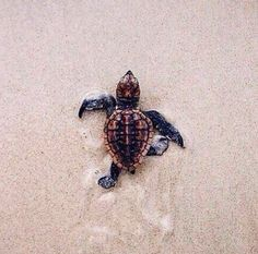 Go sea turtle, go! It's one sea turtle hatchling against the entire ocean! Cute Creatures, Beautiful Creatures, Animals Beautiful, Majestic Animals, Ocean Creatures, Loggerhead Turtle, Turtle Love, Tiny Turtle, Turtle Baby