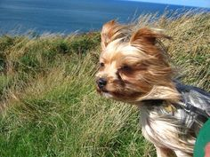 windswept yorkshire terrier image by MichMac from Fotolia.com
