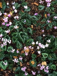 Cyclmum hedrafolium