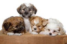 These #ShihTzu #puppies are pals for life!...  Click on this image for more pinable #dogs and #puppies