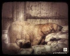 Staalo Jemina - Google+ Baby Polar Bears, Google, Dogs, Animals, Animales, Animaux, Doggies, Animais, Dog