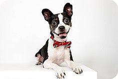 New York, NY - Boston Terrier Mix. Meet Olivier, a dog for adoption. http://www.adoptapet.com/pet/7508076-new-york-new-york-boston-terrier-mix