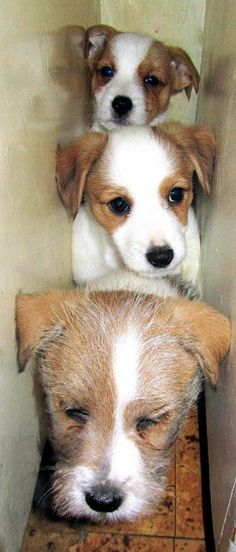 Jack Russell Terrier's.  If it weren't for PAF, I would have never known the true meaning of love a JRT gives.....thank you forever!