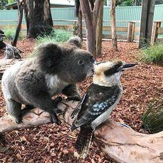 Unusual mates of the Australian Bush/Outback- Koala and kookaburra Cute Baby Animals, Animals And Pets, Funny Animals, Wild Animals, Animal Original, Australia Animals, Australian Birds, Australian Bush, Tier Fotos