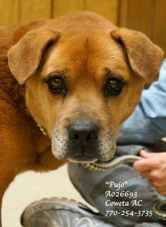 PUJO ~URGENT Lab Retr/Shep Mix NEUTERED Male Senior 8Yrs  45 lbs #A026693 Vaccinated  Heartworm Neg.  CONTACT COWETA COUNTY ANIMAL CONTROL TO ADOPT:  91 Selt Road, Newnan, GA. (770)254-3735 This sweet fella NEVER makes a fuss in his kennel. Quiet & well mannered. Calm & happy when walked. Sadly, at 8 yrs old, a shelter is the LAST place he needs to be. Can you open your heart to this pup? Intake:11/21/13 NOTE: CCAC CANNOT ADOPT ONLINE OR OVER THE PHONE. ADOPTIONS MUST BE DONE IN PERSON.