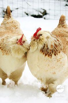 5 Reasons To Love Faverolles Chickens Fancy Chickens, Keeping Chickens, Chickens And Roosters, Raising Chickens, Bantam Chickens, Raising Goats, Beautiful Chickens, Beautiful Birds, Animals Beautiful