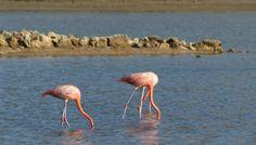 Roze flamingo's op zoek naar eten op de zoutpannen in Curacao. Benieuwd waar je ze kan zien? Kijk op de blog Blog, Blogging