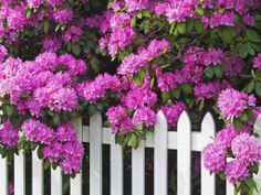 Simply Beautiful – Rhododendrons