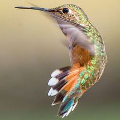 hummingbird-closeup-photography-tracy-johnson-california-14