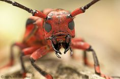 Alien by Hui Yu. A tropical flat-faced longhorn beetle from a tropical rainforest at Gunung Jerai in Malaysia