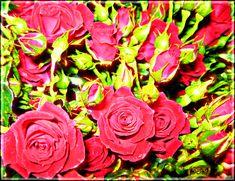 Розы - анимация на телефон №1373987
