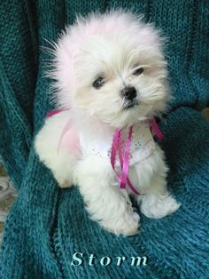Meet Storm,,she is a puppy from my Thunder and she will be a new addition to Dreamers Maltese.