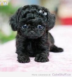 Teacup Puppy | http://CuteStuff.co - Cute Animals, Cute Pictures, Cute Videos and MORE! 4 likes in one hour!